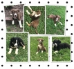 ABCA Border Collie puppies for sale