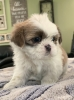 Adorable Shih Tzu Puppies for Sale in Danville PA