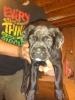 Boxer-lab puppy
