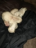 Chinese shar pei puppy