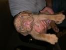 French Mastiff Pups