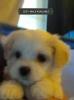 Maltier Mix Puppies: 2 Mals 1 Female