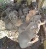 Purebred Cane Corso pups
